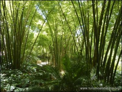 Bambú en el Jardín Botánico La Concepción