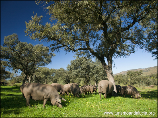 Cerdos en las Dehesas
