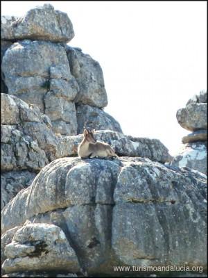 Cabra en el Torcal de Antequera