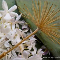 Las Biznagas. Una Flor de Flores.